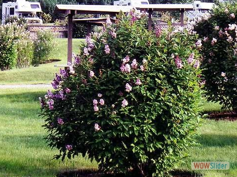 Mature shrubs on each tenting site